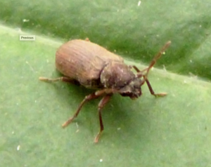 Furniture Beetle, Woodworm